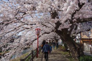 【結果発表!】鳥取市周辺でどこの桜が一番綺麗かしら投票しちゃおう2018